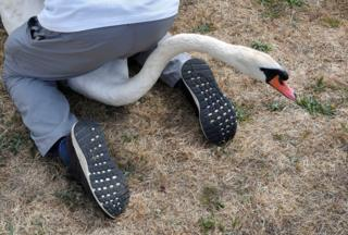 A person sat over a swan