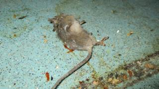 Dead mouse in nursery kitchen