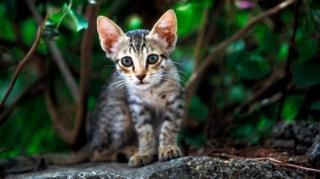 แมวจรจัดมักจับสัตว์ป่าอื่นกินเป็นอาหาร