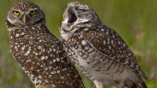 Two owls stand with grass in the background, one is looking at the camera with piercing yellow eyes. The other owl appears to be yawning.