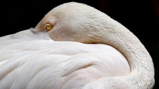 A lesser flamingo sleeps with an eye open