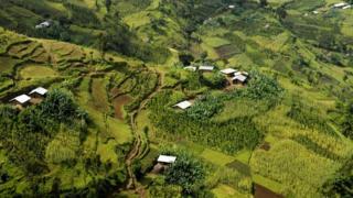 Энсета тысячелетиями выращивается в Эфиопии