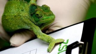 "A Jackson""s chameleon reaches over a clipboard"