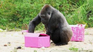 Salome, Western lowland gorilla