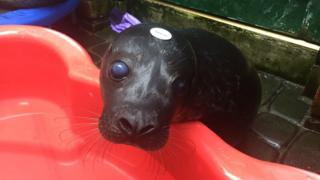 Seal pups released
