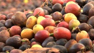 Raw coffee beans in Brazil