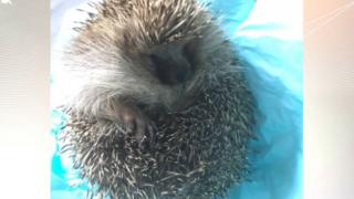 Chunkie the hedgehog