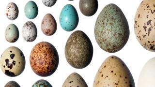 Por que os ovos de aves podem ter cores tão diferentes, segundo a ciência