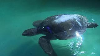 Menai the turtle