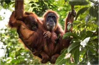 A mother and baby orangutan breastfeeding in the forests of North Sumatra