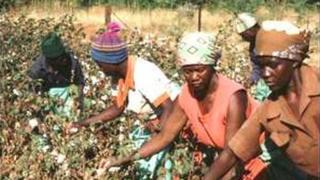 Des producteurs de coton