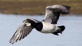 A barnacle goose