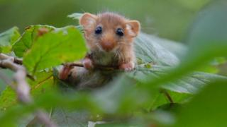 Hazel dormouse, Blackdown Hills