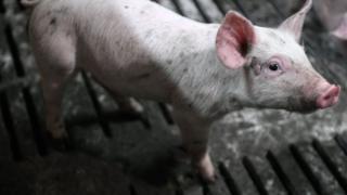 아프리카돼지열병은 DNA 바이러스 중 하나로 돼지에게 치명적인 출혈열을 발생시켜 100% 사망에 이르게 하는 질병이다