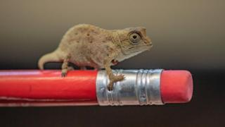 A baby bearded pygmy chameleon, one of three which have hatched at Chester Zoo, sits on the end of a pencil.