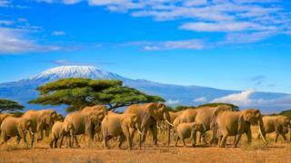 Elephants in Tanzania standing in front of Mount Kilimanjaro