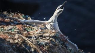 A gannet trapped in plastic fishing netting