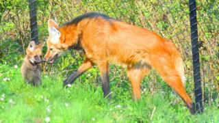fox-belfast-zoo.