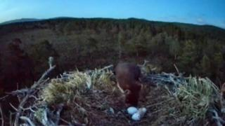 Pine marten sniffing at eggs