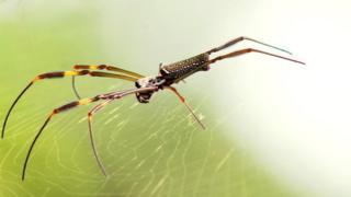 Aranha Nephila clavipes