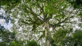 Árvores na Amazônia vistas a partir do chão