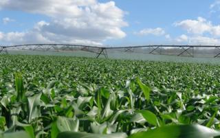 Plantação de milho irrigada