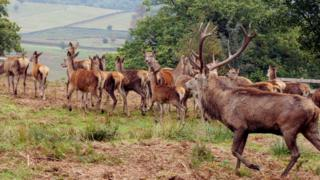 Red Deer in Bradgate Park, Leicestershire