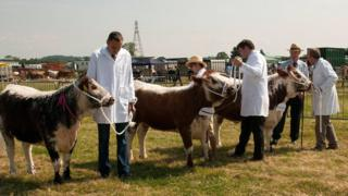 Cattle at the county show