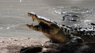 A hungry crocodile in the pool of a private farm in the San Manuel municipality, Cortes department, 220 km north of Tegucigalpa on 1 November, 2015