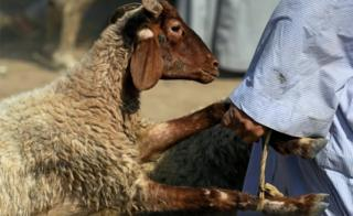 A vendor carries a sold sheep to the customer's car, ahead of the Muslim festival of sacrifice Eid al-Adha, in Giza, on the outskirts of Cairo,, Egypt August 9, 2018.