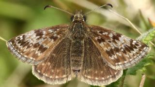 The Dingy Skipper