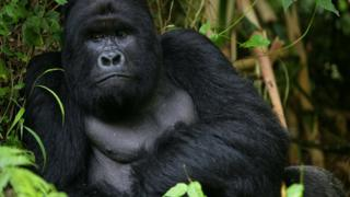 Eastern gorilla now critcially endangered