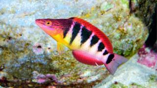 Nueva especie de pez descubierta en la Isla de Pascua