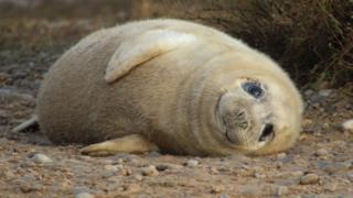Grey seal pup at Blakeney