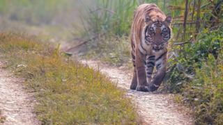 चितवन निकुञ्जभित्रको सडकमा एउटा बाघ