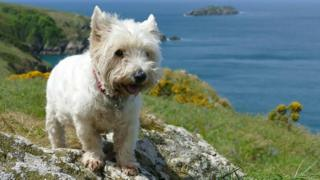 Tilly the West Highland Terrier