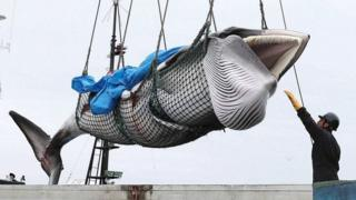 A minke whale is lifted off a boat after it was caught on the first day after the resumption of commercial whaling, in Kushiro, Hokkaido, Japan (1 July 2019)