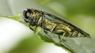 Emerald ash borer (Science Photo Library)