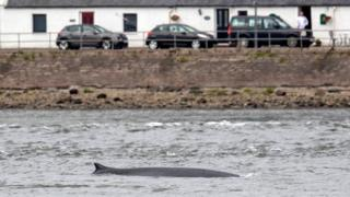 Fin whale at Inverness
