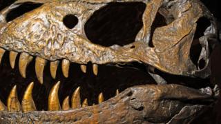 T Rex Kafatası