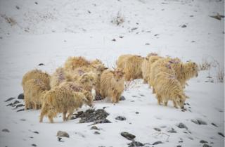 A herd of Changa goats in the snow