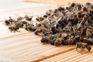 abelhas mortas
