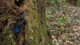 This tarantula of subfamily: Ischnocolinae) was discovered on a rotting tree stump along the upper Potaro River in Guyana.