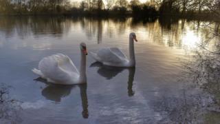 Swans at Ducklington Lake