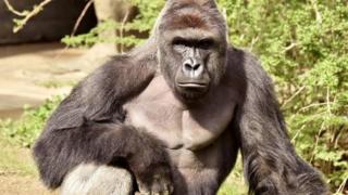 Harambe tinha 17 anos e pesava 180 quilos