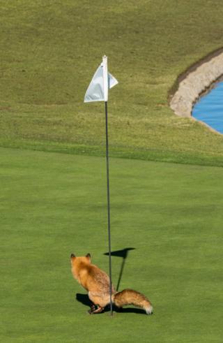 Fox on a golf course. Photo: Douglas Croft.