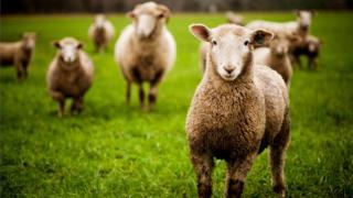 Влияние овец на окружающую среду, мягко говоря, значительно