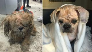 A before and after picture of rescued dog Pudding