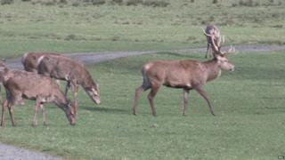 Red deer like this are a prime target of poachers