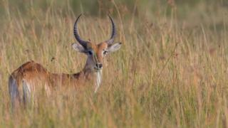 An antelope in the wild